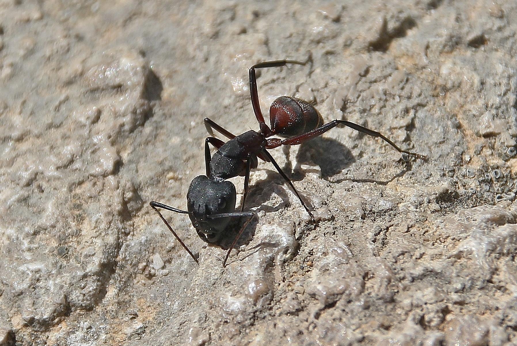 Inventaire des fourmis picardes