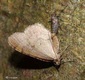 operophtera-brumata-couple-80-26-11-2016-yd