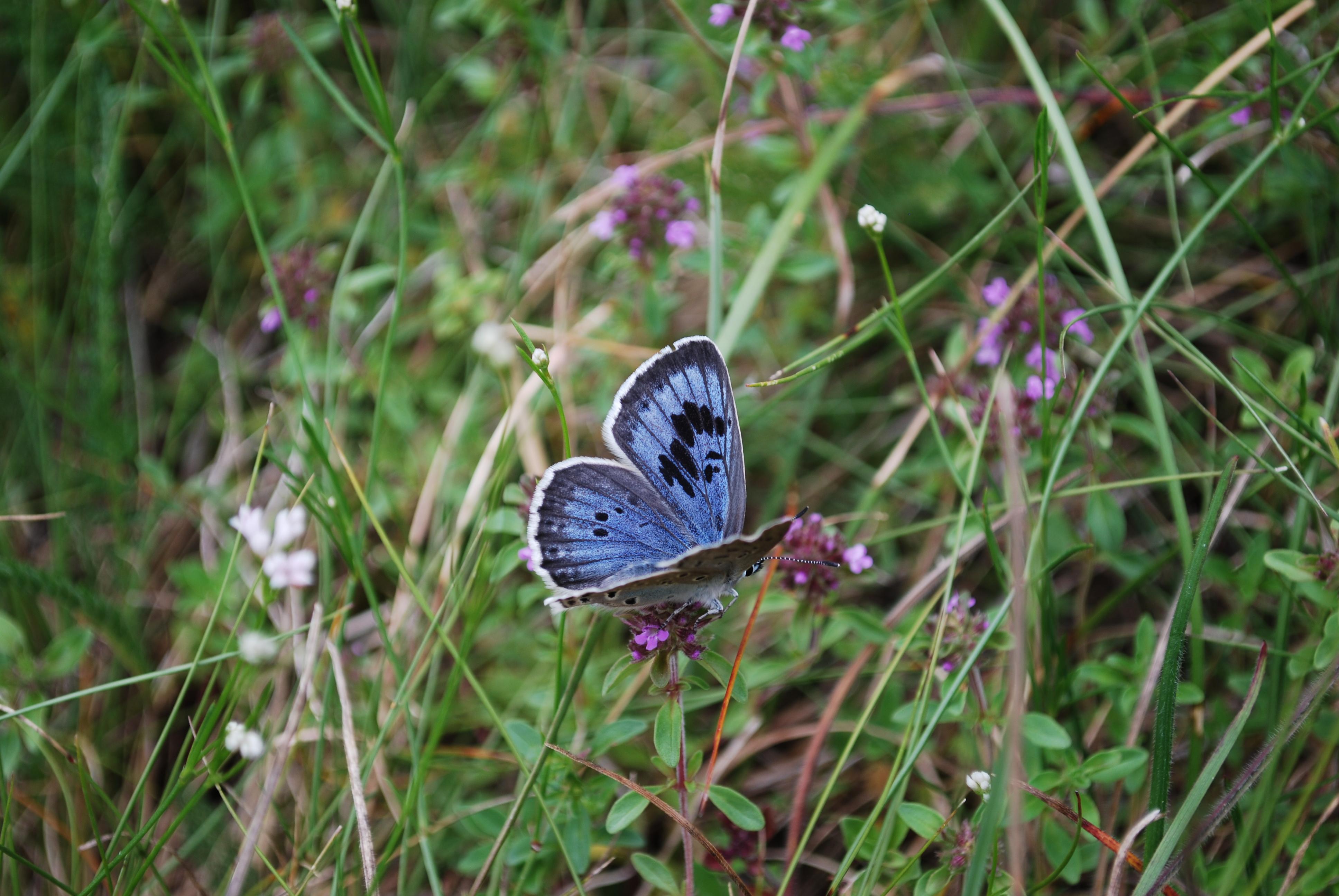Maculinea et Myrmica : une relation indispensable papillon-fourmi.