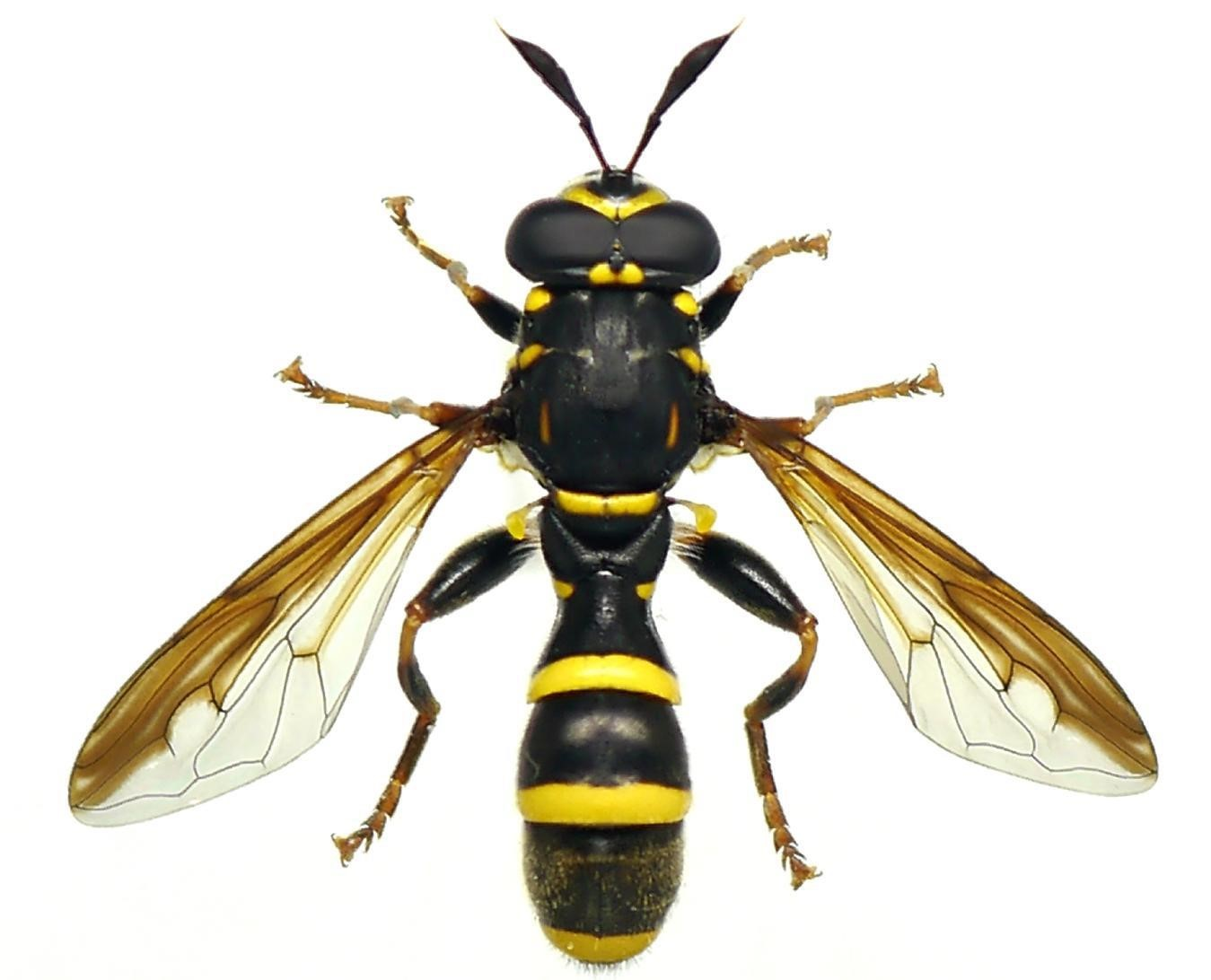 Syrphes : Portrait de pollinisateurs 2017