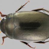 Fiche espèce : Agabus melanarius Aubé, 1837