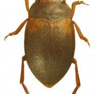 Fiche espèce : Deronectes latus (Stephens, 1829) – Artoise.