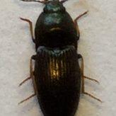 Fiche espèce : Hypnoidus riparius (Fabricius, 1792) – Artoise.
