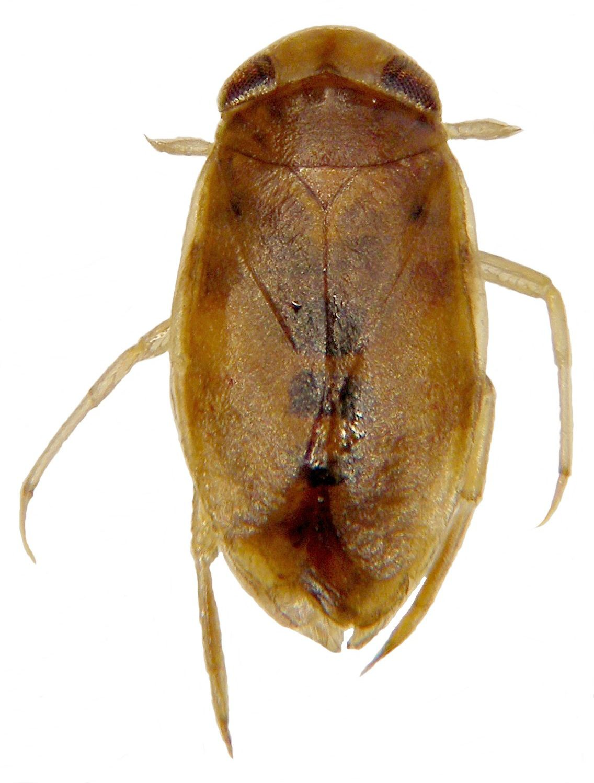 Fiche espèce : Micronecta (Micronecta) griseola Horváth, 1899 – Artoise.