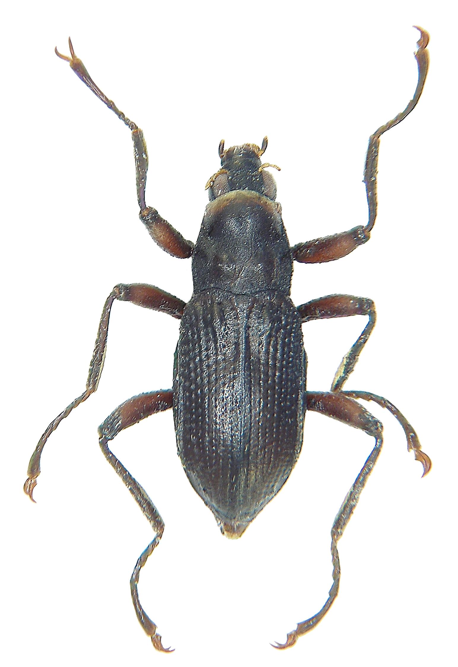 Fiche espèce : Macronychus quadrituberculatus Müller, 1806 – Artoise.