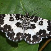 Fiche espèce : Rheumaptera hastata (Linnaeus, 1758) – Artoise.
