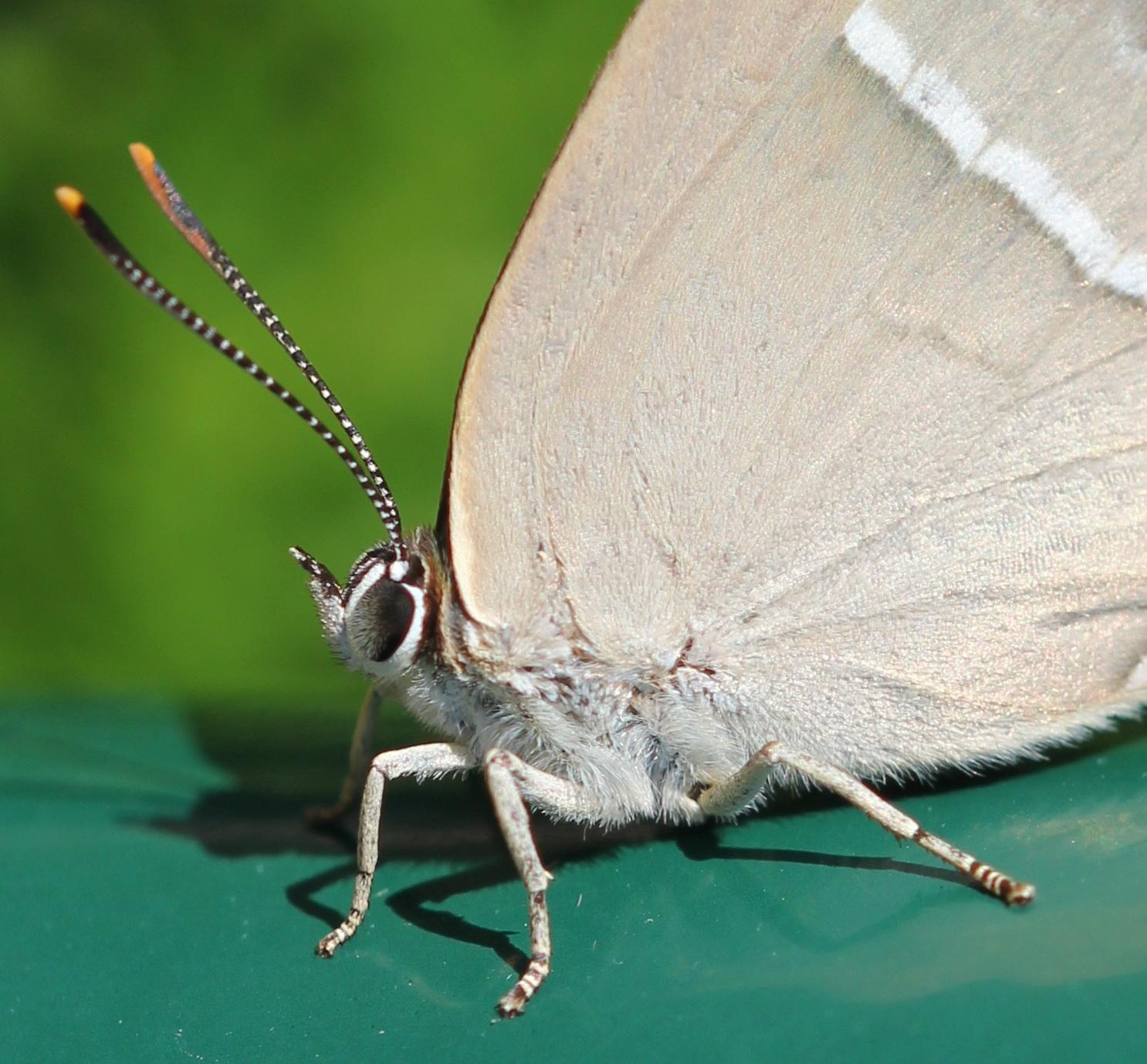 La lettre d'informations du réseau papillons : «Les Faits Papillons» maintenant en ligne.
