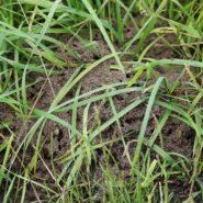 Fourmis parasites : découverte de 2 nids mixtes.