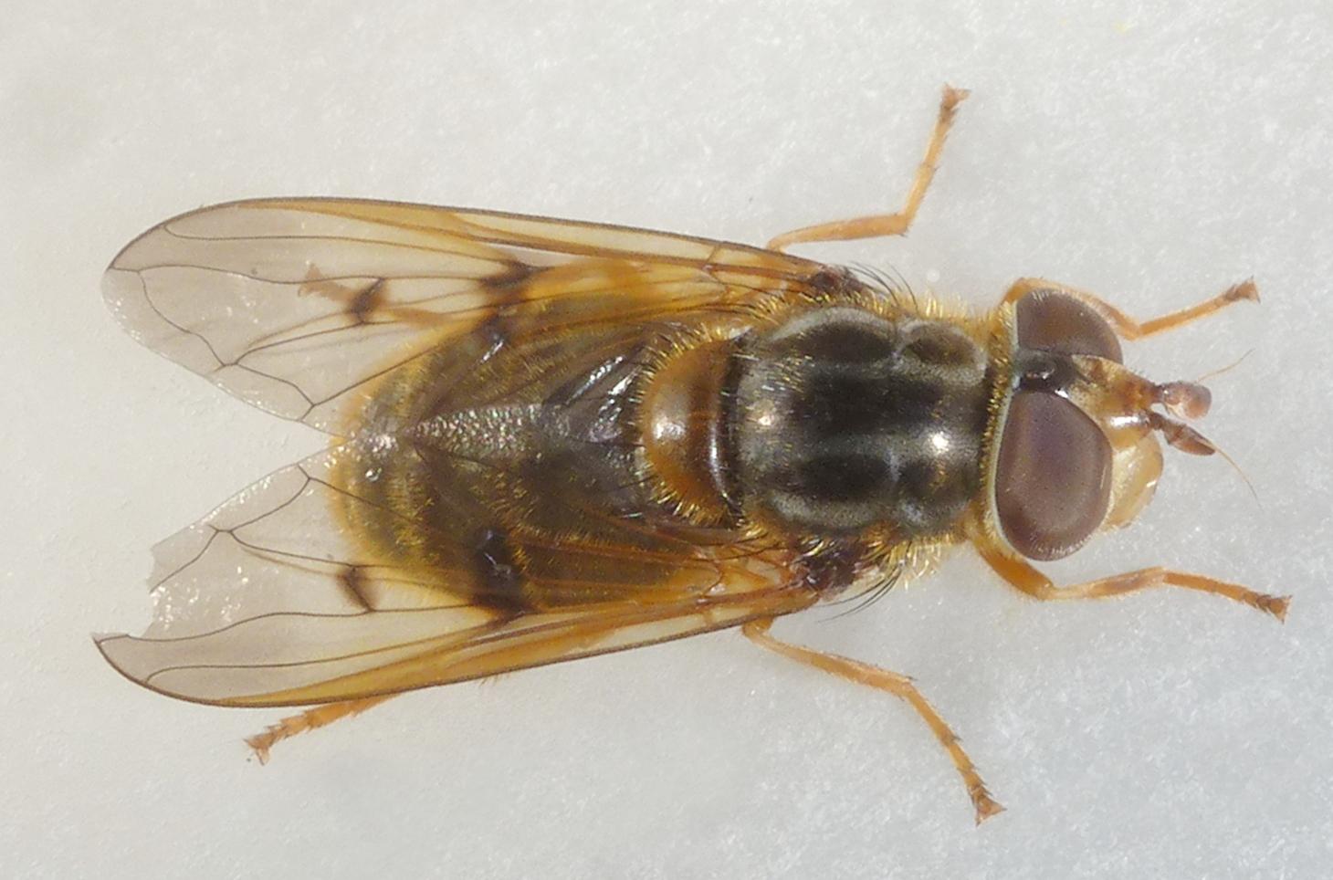 Fiche espèce – Un syrphe rare : Ferdinandea ruficornis (Fabricius, 1775) !