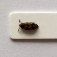 Fiche espèce : Abdera flexuosa (Paykull, 1799) – Chantilly