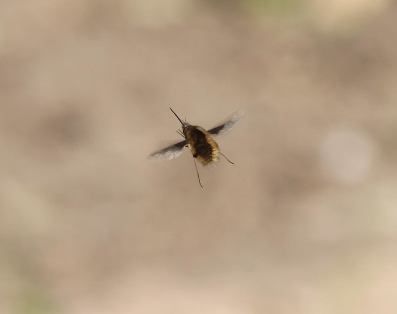 Clé d'identification des Bombyliidae