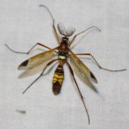 Clé de détermination : les Ctenophoridae (Diptera, Tipulidae)