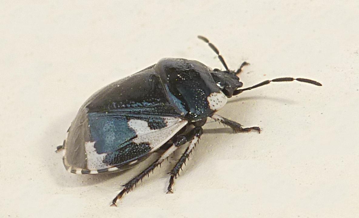 Fiche espèce : Tritomegas rotundipennis (Dohrn, 1862)
