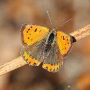 Article de presse : Les papillons menacés de disparition en Auvergne (La Montagne)