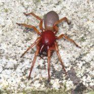 Les Dysdera : des araignées pas si faciles à déterminer !