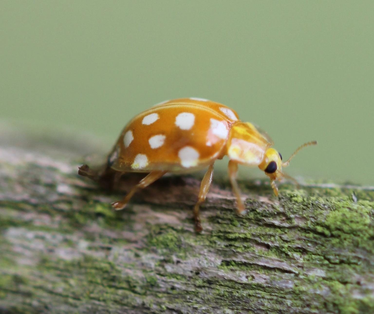 Identification des coccinelles de Picardie adultes (moyennes et grandes espèces) – Par Sophie Declercq