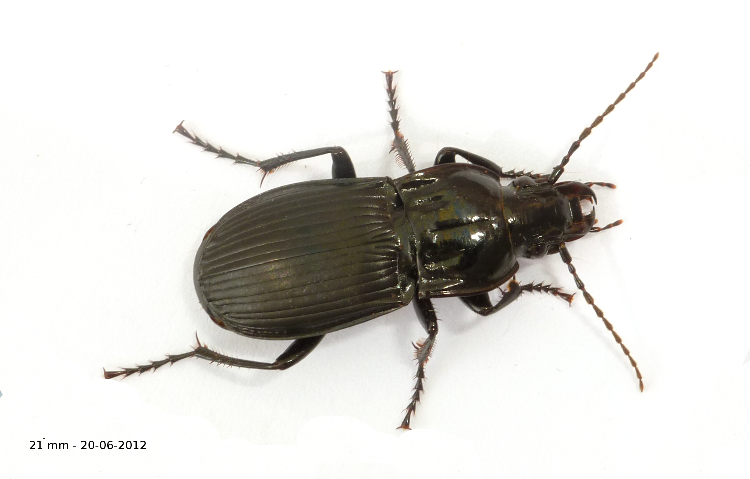 Clé d'indentification des Abax (Coleoptera, Carabidae)