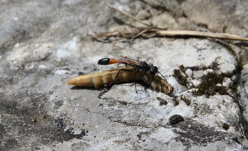 Les Ammophiles (Hymenoptera, Ammophilinae)