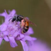 Nous avons besoin de vous ! Inventaire participatif «abeille sauvage»