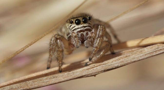 Araignées saltiques les plus courantes en région picarde