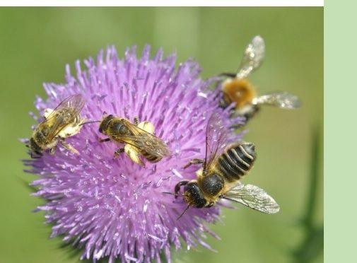 Diversité des abeilles sauvages, Parc naturel régional, Oise – Pays de France.