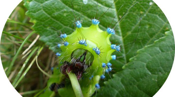 Les chenilles : Une autre façon d'étudier Les papillons